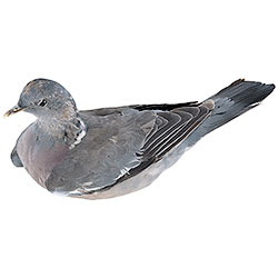 Stuffed mold of Perching Woodpigeon