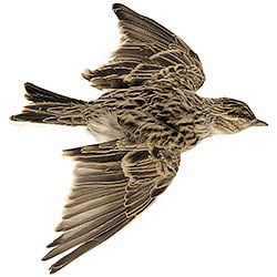 Stuffed Decoy of Skylark with Open Wings