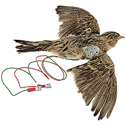 Stuffed Skylark, Rotating Wings