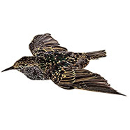 Stuffed Decoy of Starling with Open Wings
