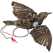 Stuffed Starling, Rotating Wings